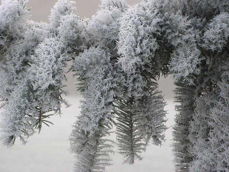 frozen-pine-arttextum-replicacion.jpg
